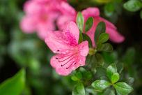 植物花卉花朵杜鹃花微距