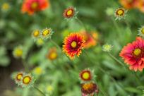 植物花卉花朵红色菊花微距