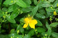 植物花卉花朵金丝桃