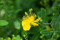 植物花卉花朵金丝桃微距