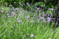 植物花卉花朵马鞭草