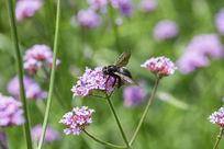 植物花卉花朵马鞭草蜜蜂采蜜微距