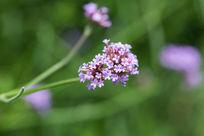 植物花卉花朵马鞭草微距