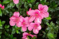 植物绿叶花卉花朵杜鹃花微距