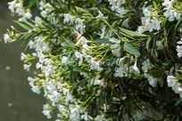 植物树叶绿叶夹竹桃花卉花朵