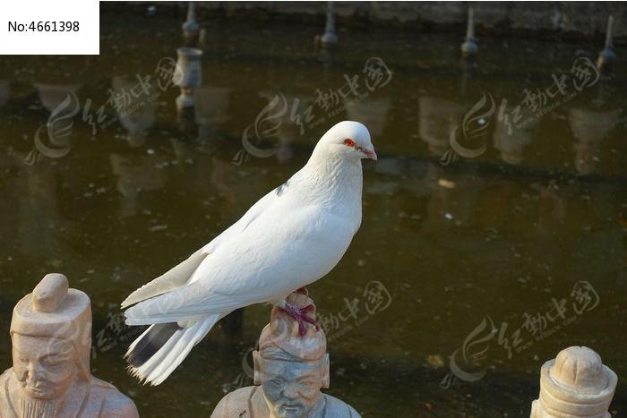 白色的鸽子图片,高清大图