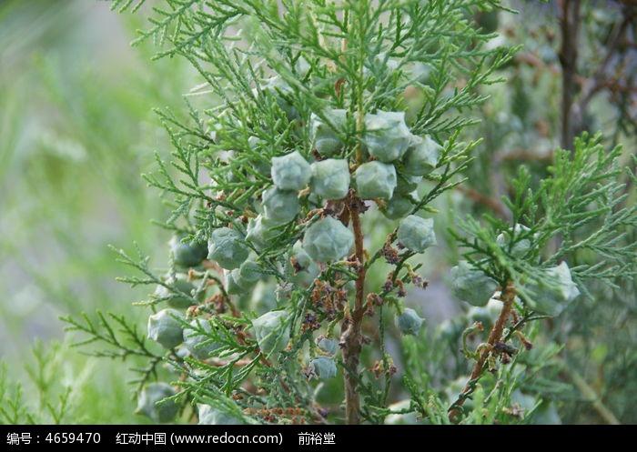 原创摄影图 动物植物 树木枝叶 葱葱绿绿松柏果子  请您分享: 红动网