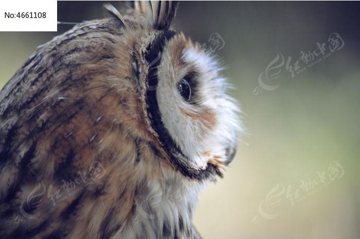 猫头鹰侧脸照图片,高清大图_空中动物素材