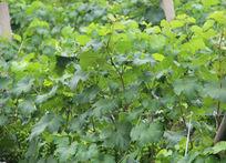 青涩葡萄园