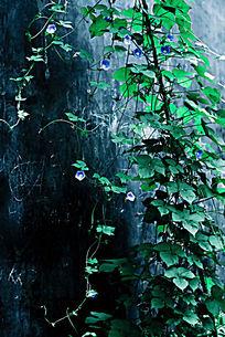 旺盛的蓝色牵牛花