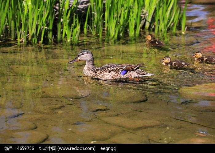 带着鸭宝宝游泳的鸭妈妈_陆地动物图片_红动手机版