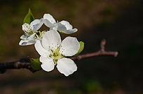 纯洁的梨花