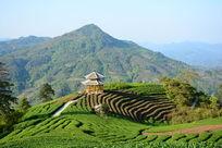 三江茶叶种植基地