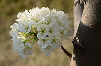树杆上的苹果花