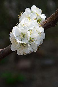 树枝上的白色的苹果花