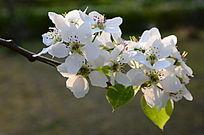 树枝上的梨花