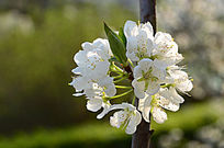 素雅的苹果花