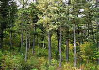 小兴安岭红松原始森林