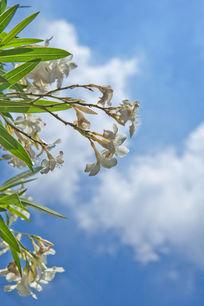 白色夹竹桃花