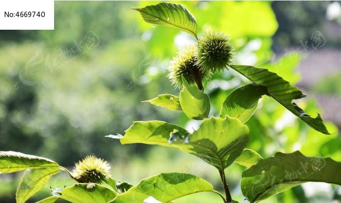 原创摄影图 动物植物 农作物 板栗果实  请您分享: 红动网提供农作物