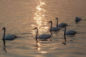 波光粼粼的水面上一群天鹅
