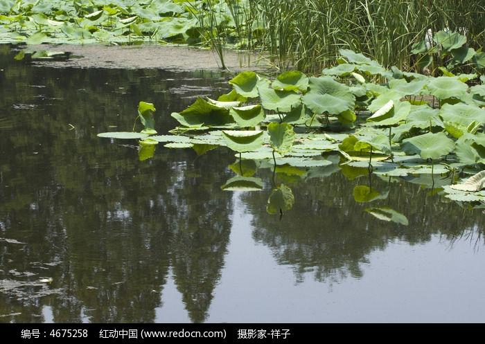 池塘的荷叶图片