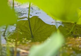 池塘里的荷叶倒影