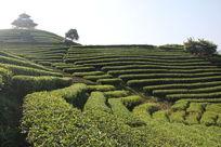红茶种植场