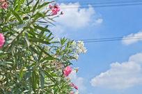 蓝天白云下的夹竹桃花