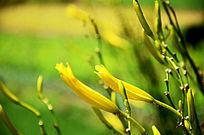 两朵黄花菜花