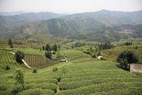 美丽的茶叶种植基地