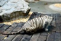觅食中的白虎