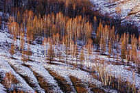 山地白桦林