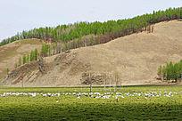 山地牧场羊群