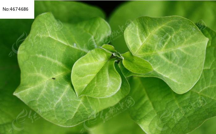 树叶正面俯视图图片,高清大图_树木枝叶素材