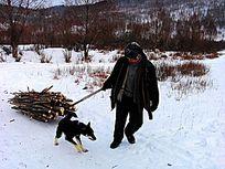 小狗帮助主人拉爬犁运烧柴