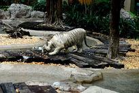 稀有白老虎