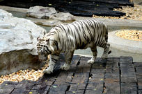 珍稀猫科动物-白虎