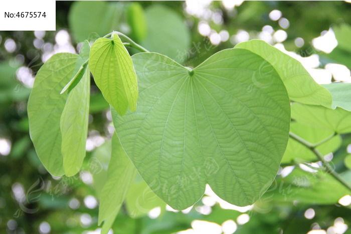 紫荆树宽大的叶子图片
