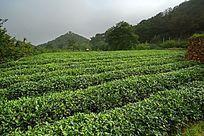 风光秀丽的泰山女儿茶茶园种植基地