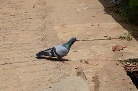 一只地面上的鸽子