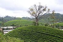 布满茶叶的丘陵