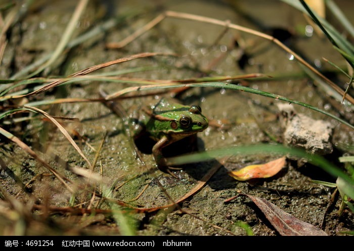 池塘中的青蛙高清图片下载 编号4691254 红动网