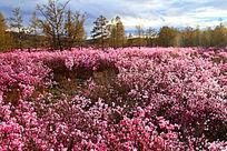 达尔滨湖公园火山岩上杜鹃花