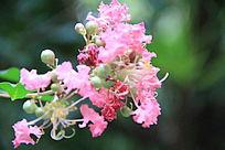 粉色的花簇
