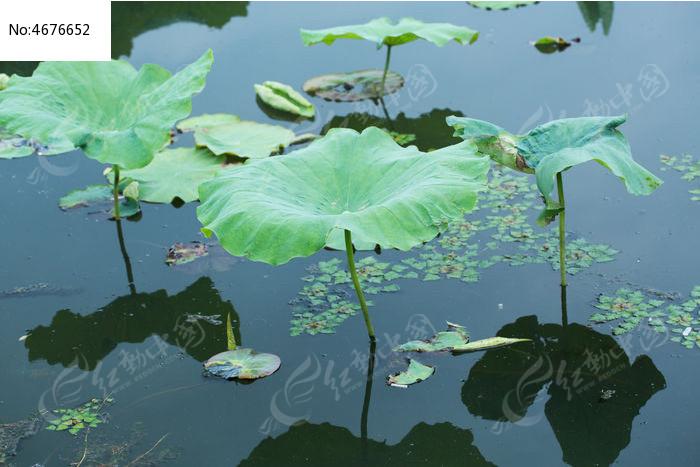 杭州西湖荷塘荷叶