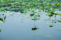 杭州西湖荷塘荷叶安静湖面春天清新自然