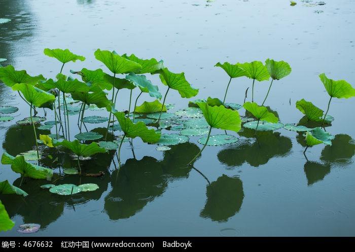 原创摄影图 动物植物 花卉花草 荷塘荷叶雨中春天自然清新  请您分享
