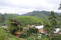 满山的茶叶