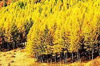 塞罕坝森林秋景